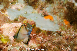 Curious little Blenny poking his head out by Pete Devereux 